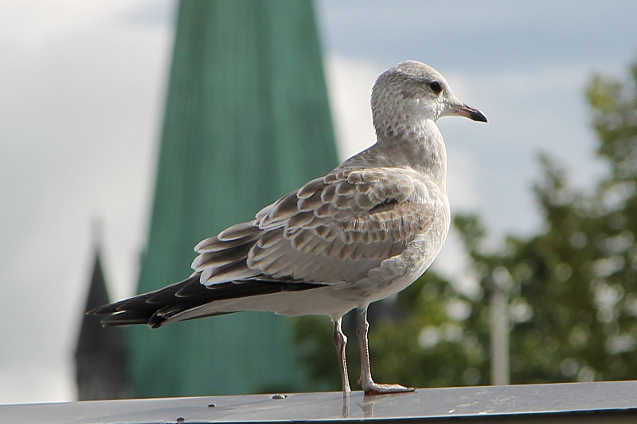 Young silver gull